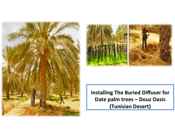 Installing the Buried Diffuser for dates palm trees
